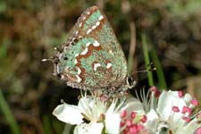 Hessels-hairstreak-butterfly